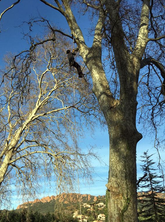 élagage des arbres - Culture paysage